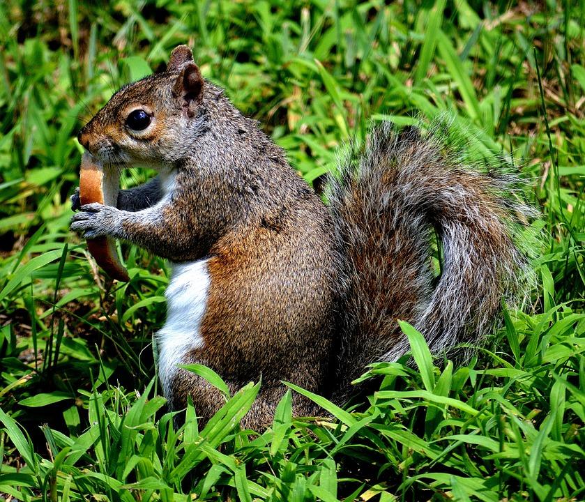 Egern på græsplæne